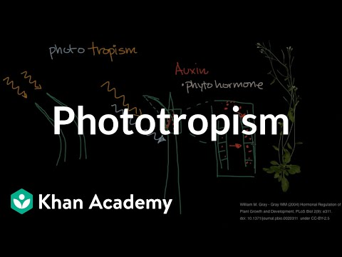 the chemical that promotes phototropism is
