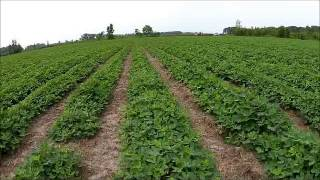 Video from July 3 2014 of peanuts strip tilled directly into spring killed bahiagrass.