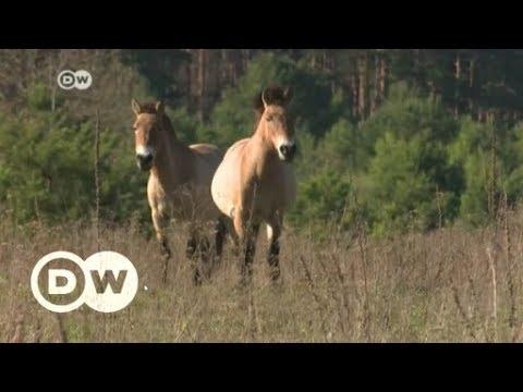 Ukraine: Wie die Natur das Gebiet um Tschernobyl zurückerobert | DW Deutsch