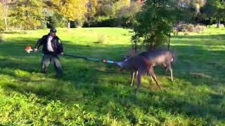 Niesamowity wyczyn! – Piłą spalinową rozdzielił szczepione jelenie!