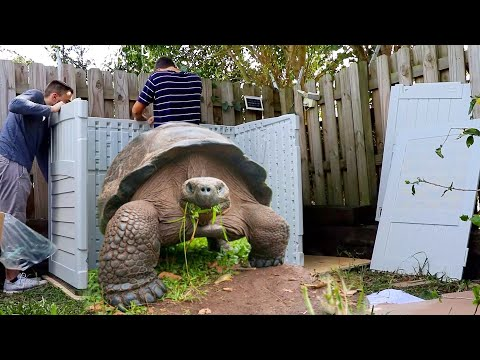 Giant Man Tortoise Gets It's Dream Home!! * Crazy *