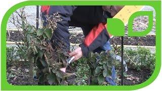 Wie schneidet man eine Lowberry Brombeere?