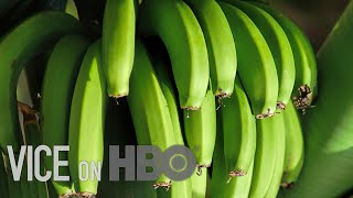 Bananas As We Know Them Are Doomed