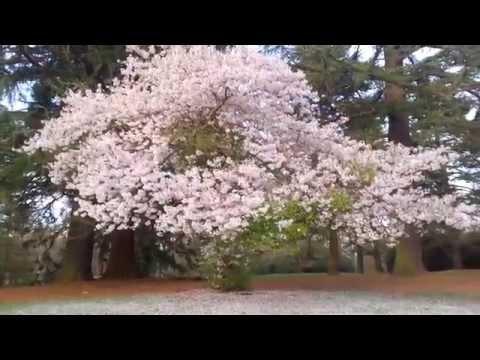 Spring blossom at Savill Gardens