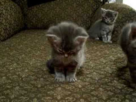 vid - Kitten tries to get some sleep, while the others play.