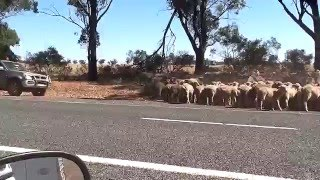West Wyalong Australia  City new picture : Droving Sheep Near West Wyalong NSW Australia