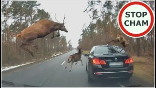Stado jeleni wyskoczyło na auto