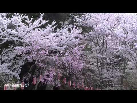 参道覆う花のトンネル 賀集八幡神社