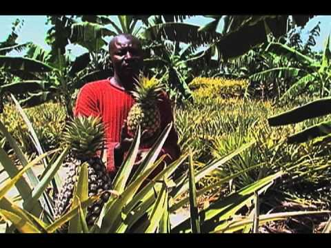 Uganda: organic pineapple farming
