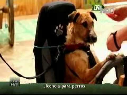Enseñan a conducir a perros para promover adopción.