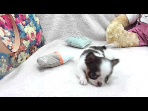 Micro teacup Chihuahua puppies for sale