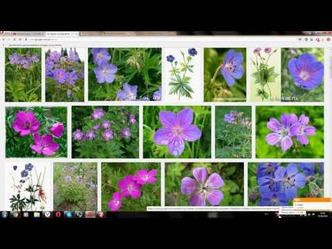 Герань луговая (Geranium meadow)