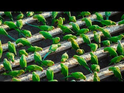India  s  Birdman  Feeds 4 000 Parakeets A