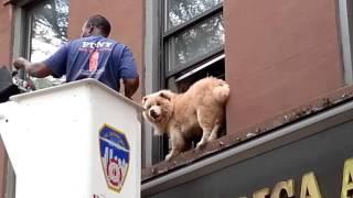 В Бруклине спасатели сняли чау-чау с подоконника