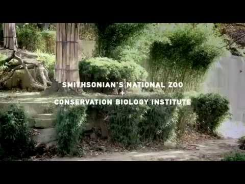 man - There are only 400 Sumatran tigers left in the wild. That's why we are collaborating with the Smithsonian's National Zoo and Conservation Biology Institute t...