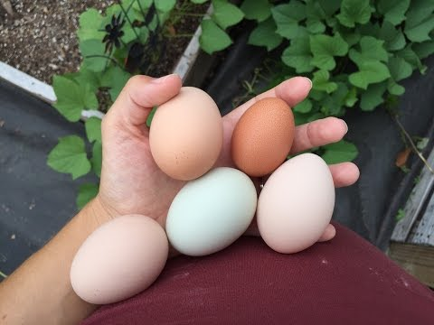 How to tell when your chickens are going to lay an egg