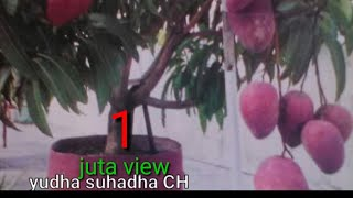 Video HOW TO MAKE/MANGGA KERDIL CEPAT BERBUAH LEBAT/MANGO GRAFTING/EDISI PERBAIKAN MUTU MANGGA MP3, 3GP, MP4, WEBM, AVI, FLV Juni 2019