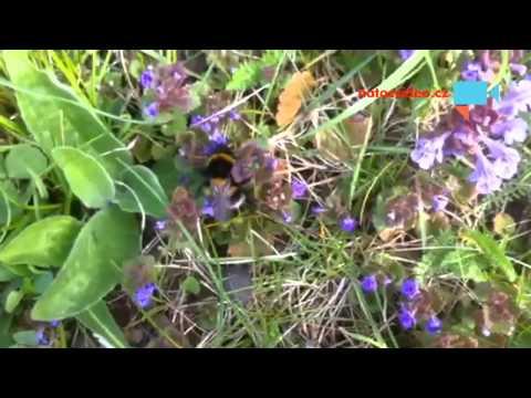 Čmelák - sbírá nektar a pobzukuje si
