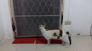 animale faza tare pisica isteata
