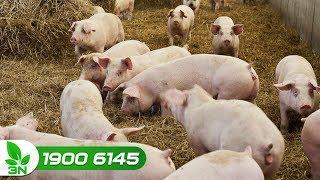 Nông nghiệp | Những sai lầm làm giảm hiệu suất heo thịt: Đâu là giải pháp?