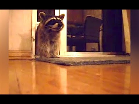 Ozzy Man s Commentary on Cheeky Raccoons