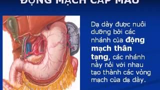 Silde Phôi Thai Học  Phôi Thai Tiêu Hóa, Dạ Dày Và Tụy   YouTube