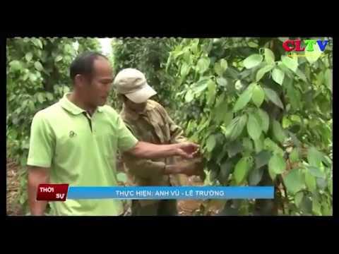 Tăng cường phòng chống dịch bệnh cây hồ tiêu