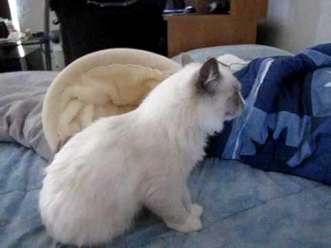 Feline Asthma Attack