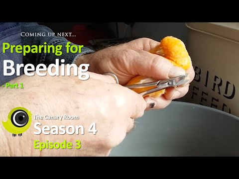 The Canary Room Season 4 Episode 3 - Preparing for Breeding Part 1