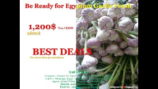 Best Fresh Natural Garlic Price - New Crop/Hot Sales From Egypt youtube video