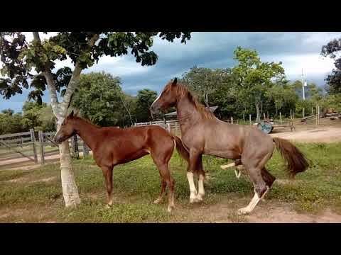 Video Cavalo manga larga cobrindo  égua xena. download in MP3, 3GP, MP4, WEBM, AVI, FLV January 2017