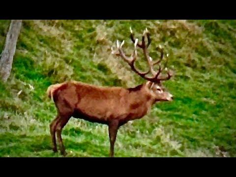 Hunting Red deer in New Zealand part 74(3 shots 3 kills in 30 seconds)