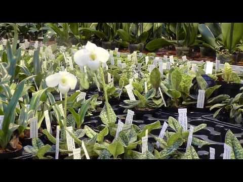 Orchideen Arten: Paph delenatii alba