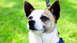 Brooke - Chihuahua / Mixed Dog For Adoption