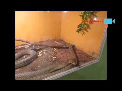 Kobra kroužkovaná v zoo Dvorec u Borovan 1.11. 2015