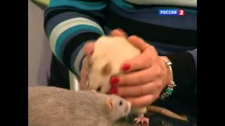 Как долго могут жить домашние крысы?