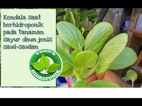 Download Video Kendala Berhidroponik Pada Tanaman Sayur Daun Jenis Sawi Sawian