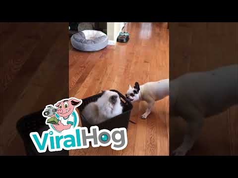 Dogs Take Cat for Ride Around the House