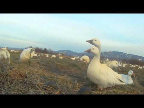 Chasse à l'oie blanche au printemps au Québec