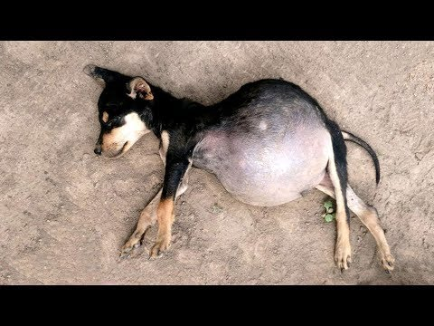 Wonderful Mother Dog Giving Birth To 13 Pups At Home | Animals Gives Birth