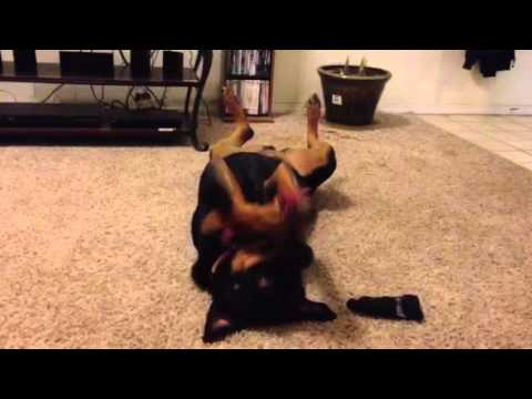 Video Great Dane & Rottie playing download in MP3, 3GP, MP4, WEBM, AVI, FLV January 2017