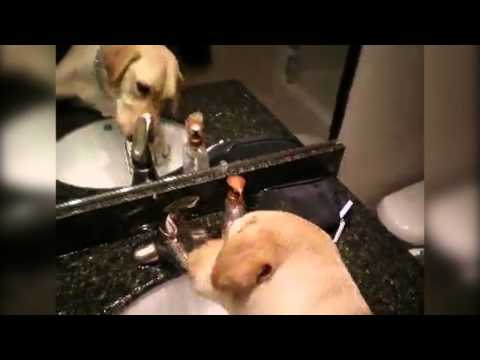 Tørst hund skrur på springen selv :)