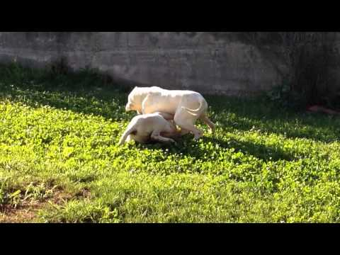 Vendita cuccioli dogo argentino alta genealogia