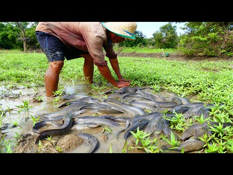 Wow Amazing Fishing! Now A Fisherman Catch Fish A lot under Green grass and water catch by hand