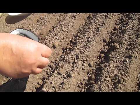 Когда сажать чернушку на севок в открытый грунт 77