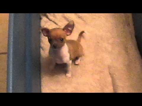 Teacup chihuahua crying