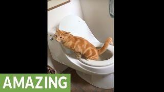 Ten kot jest niesamowity! Umie korzystać z toalety i jeszcze po sobie posprząta!