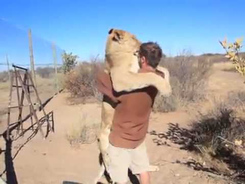 leonessa abbraccia il suo padrone dopo 7 anni!