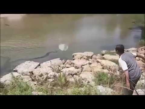 Trăn khổng lồ 6m rình rập dưới sông ở Malaysia:  Con trăn được cho là đang đi tìm thức ăn vào thời điểm bị dân làng phát hiện.Một con trăn khổng lồ dài 6m vừa bị bắt tại Malaysia sau khi bị phát hiện bơi trên sông.Đoạn video quay ngày 17.7 ở làng Sungai Long, quận Jeli, miền tây Malaysia, cho thấy một người đàn ông ném đá vào mặt nước khi con trăn khổng lồ bơi gần bờ.Video sau đó chuyển sang cảnh con trăn nằm trên mặt đất sau khi bị bắt, theo UPI.Người quay video cho biết cần tới 6 người đàn ông trưởng thành để bắt trăn. Con vật bò sát sau đó được chuyển cho chính quyền địa phương và dự kiến sẽ có nhà mới tại sở thú.Người dân cho rằng con trăn đang tìm thức ăn khi nó bị phát hiện, vì một đàn dê được chăn thả gần bờ sông vào thời điểm đó.