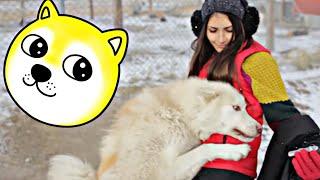 Trzeci odcinek przygody na Grenlandii. W dzisiejszym odcinku polujemy na karibu i odwiedzamy psy zaprzęgowe ♤ FACEBOOK:...